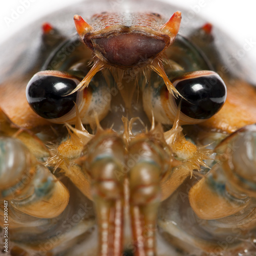 Close-up of American lobster, Homarus americanus