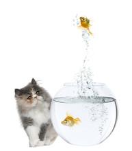 Persian Kitten Watching A Goldfish Jumping Out Of Fishbowl