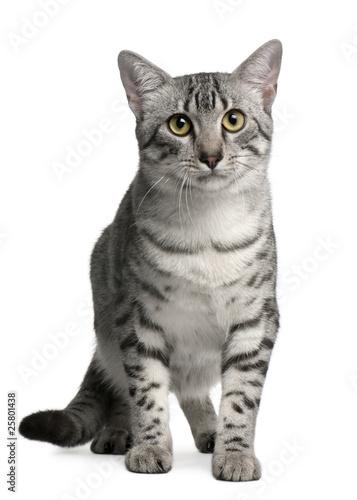 Papiers peints Rouge, noir, blanc Egyptian Mau Cat, 7 months old, sitting