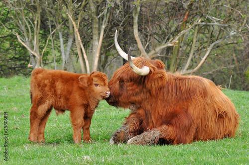 Fototapeta calf and mum of highland cattle obraz