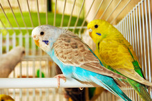 Blue And Yellow Budgerigars