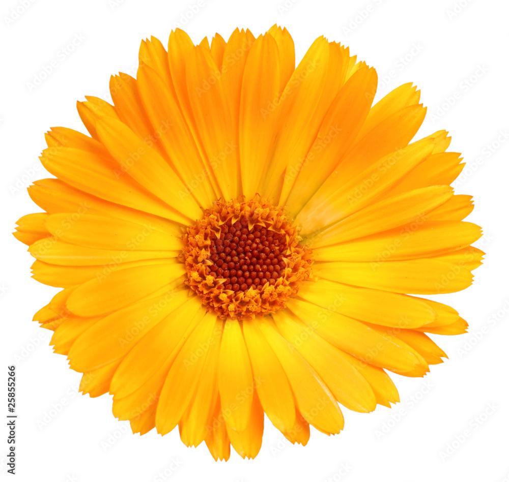 Fototapety, obrazy: One orange flower of calendula