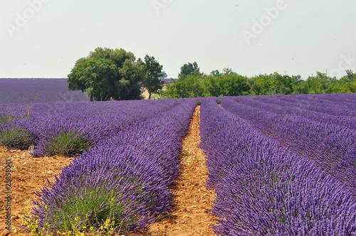 Poster Lavendel lavande en fleur 10