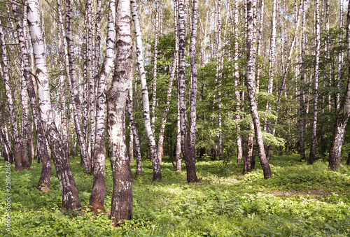 Deurstickers Berkbosje Birchwood in sunny day