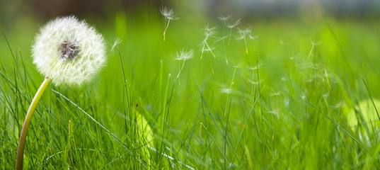 Beautiful white dandelion on a lawn