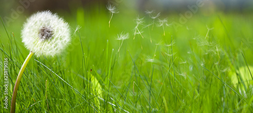 Foto op Plexiglas Paardenbloem Beautiful white dandelion on a lawn