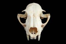Isolated Eurasian Lynx (Lynx Lynx) Skull On A Black Background