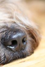 Hunde Nase