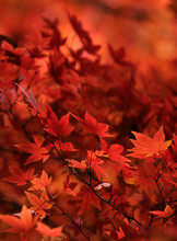 Red Japanese Maple Leaves Back...
