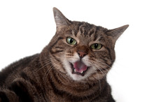Tabby Cat Hissing