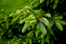 Green Prickly Branches Of A Fu...