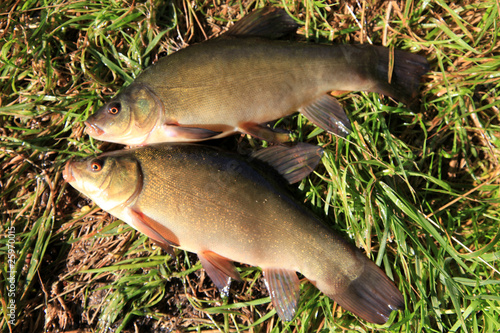 two Tench Canvas-taulu