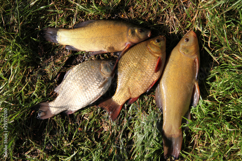 Valokuvatapetti fishing time... after...  Crucian Carp and Tench