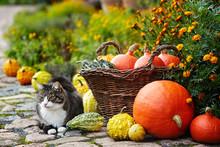 Pumpkins In Wicker Basket And Cat