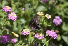 Pipevine Swallowtail Buterfly