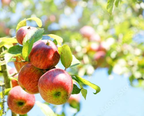 Apple tree, Apfelbaum, reife Äpfel, Copyspace Canvas Print