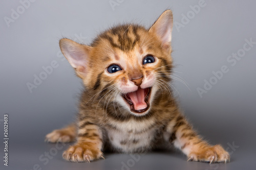 bengalski-kotek-na-szarym-tle