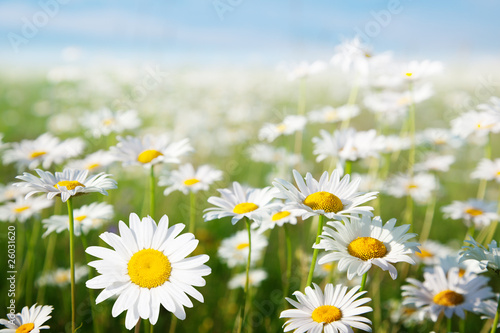 In de dag Madeliefjes field of daisy flowers