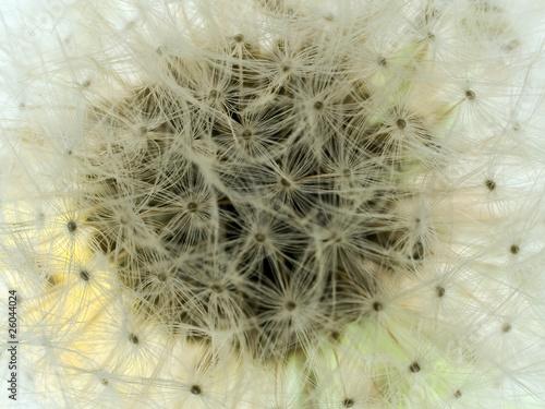 Canvas Prints Dandelions and water dandelion puff details
