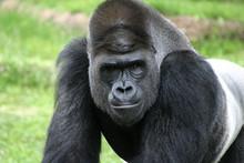 Silverback Gorilla Closeup Portrait At Fort Worth Zoo