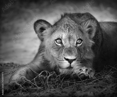 Staande foto Leeuw Young lion portrait