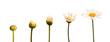 canvas print picture - Etapes de la croissance d'une marguerite, fond blanc
