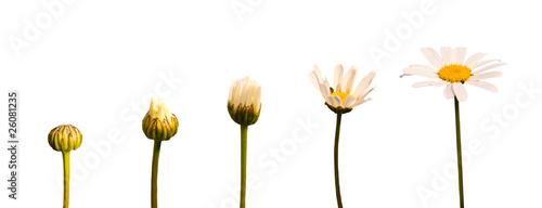 Cadres-photo bureau Fleuriste Etapes de la croissance d'une marguerite, fond blanc