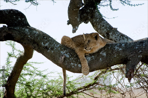 Photo  Young lion on a tree. 2