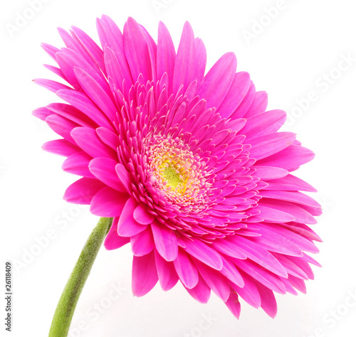 Foto op Aluminium Gerbera gerbera flower