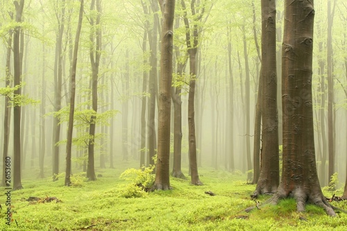 Foto auf Acrylglas Wald im Nebel Spring deciduous forest surrounded by mountain mist