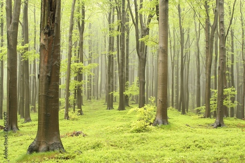 Spring beech forest on a foggy morning #26154017