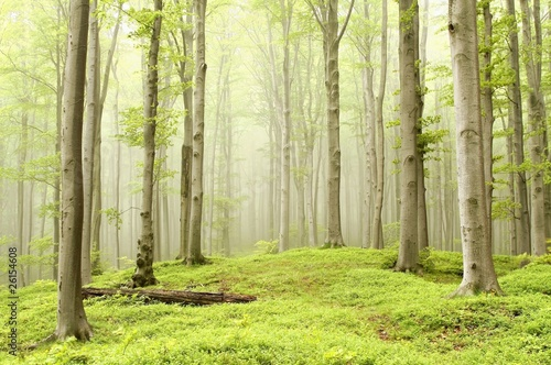 Foto auf Acrylglas Wald im Nebel Fairytale beech forest in a nature reserve