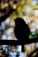 Robin Redbreast Silhouette
