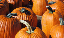 Group Of Large Pumpkins In Ear...