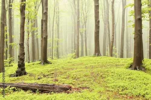 Foto auf Acrylglas Wald im Nebel Spring fairytale forest with mist moving between the trees