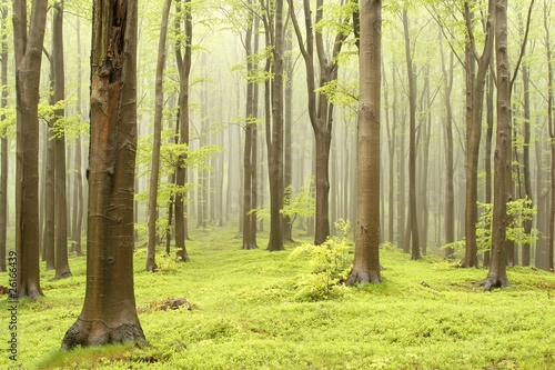 Papiers peints Foret brouillard Spring fairytale forest with mist moving between the trees