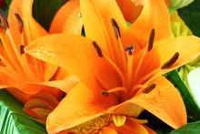 Amaryllis Orange