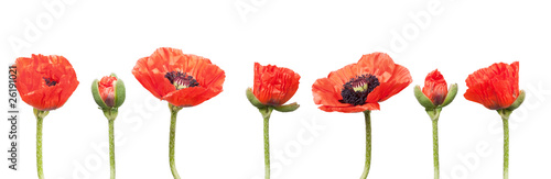 In de dag Poppy Red Poppies in a row. Isolated on white