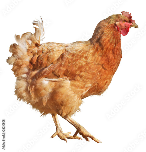 Fotobehang Kip Chicken isolated on a white background