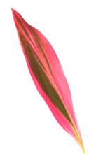 Leaf Of Cordyline