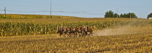 Amish Farmer Plowing The Field...