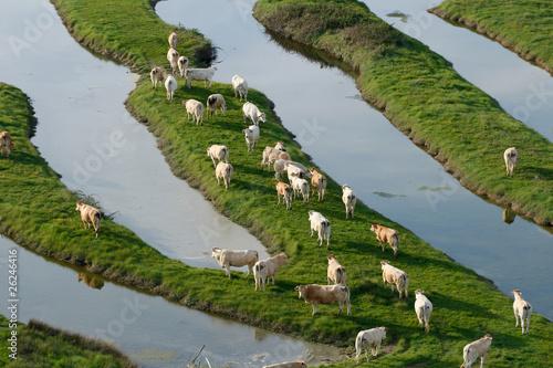 Fotografija vue aérienne d'un troupeau de vaches dans le bocage