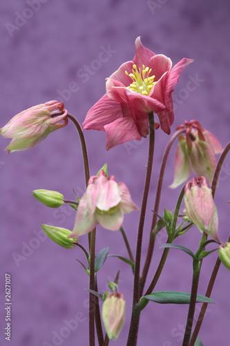 Aluminium Prints Flower shop Aquilegia