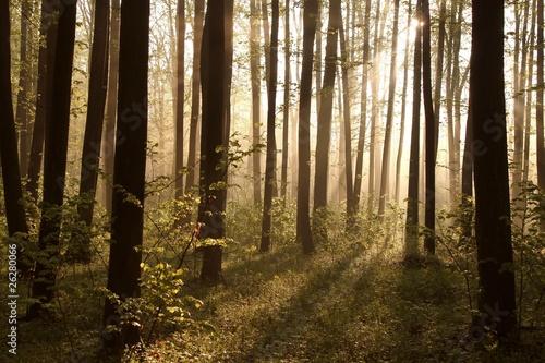 Foto auf Acrylglas Wald im Nebel Misty spring forest illuminated by the rising sun