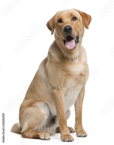 Photo Labrador retriever, 12 months old, sitting