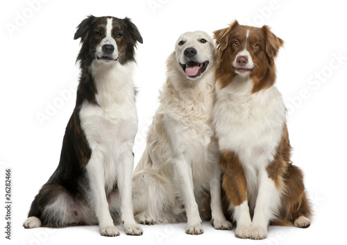 Foto  Group of three mixed-breed dogs in front of white background