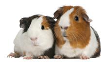 Guinea Pigs, 3 Years Old, Lyin...
