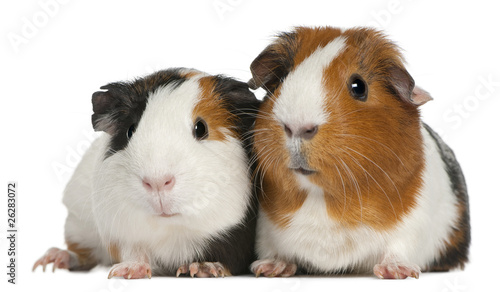 Guinea pigs, 3 years old, lying in front of white background © Eric Isselée