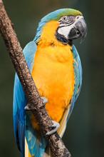 Blue-and-yellow Macaw - Ara Ararauna...