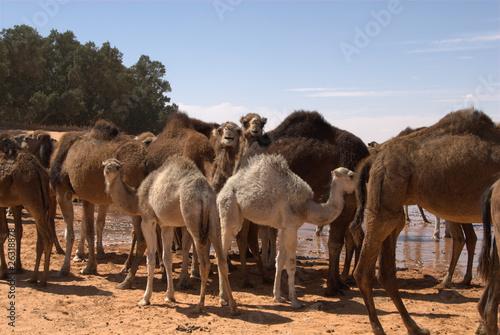 Spoed Foto op Canvas Kamel